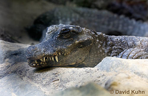 0311-1101  Resting West African Dwarf Crocodile (Broad-Nosed Crocodile), Osteolaemus tetraspis  © David Kuhn/Dwight Kuhn Photography