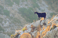 Wild goat in Crete mountains