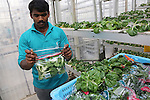 Packing harvesting Bok Choy at Sky Greens<br /><br />Sky Greens is a pioneering adventure in vertyical farming, one of the first of its kind, founded by Daniel Chea.<br /><br />As written in their website:<br /><br />World's first low carbon hydraulic water-driven, tropical vegetable urban vertical farm, using green urban solutions to achieve enhanced green sustainable production of safe, fresh and delicious vegetables, using minimal land, water and energy resource<br /><br />Locally grown vegetables in Singapore currently constitute only 7% of local consumption. Demand for local vegetables exceeds supply. Singaporeans trust the quality, freshness and safety of local vegetables, grown using good agricultural practice under the supervision of the Agri-Food & Veterinary Authority of Singapore.<br /> <br /> The A-Go-Gro vertical systems which are 9m in height (3 storeys), housed in protected-outdoor green houses, allow tropical leafy vegetables to be grown all year round at significantly higher yields (than traditional growing methods) that are safe, of high quality, fresh and delicious.<br /><br />Green urban technologies are used on the farm, which is easy and environmentally friendly to operate and maintain. Patented low carbon hydraulic water-driven green technology. Soil-mix, fertilizers and water are controlled. Modular A-frame structures for easy installation & maintenance. Outdoor green houses, which use abundant sunlight in the tropics throughout the year. Green technology is used to achieve the 3R ( reduce, reuse and recycle)