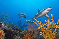 Caribbean reef sharks, Carcharhinus perezii, swimming among reef fish over pristine coral reef, West End, Grand Bahama, Bahamas, Caribbean Sea, Atlantic Ocean