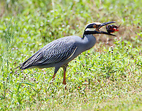 Adult yellow-crowned night-heron flipping crayfish to get in position for swallowing after removing crayfish's claws.