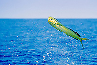mahi mahi, dolphin fish, or dorado, Coryphaena hippurus, large bull, jumping, Kona Coast, Big Island, Hawaii, USA, Pacific Ocean