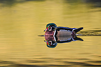 A Wood Duck migrating through Colorado floats on waters reflecting nearby fall foliage.