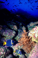 White-banded Angelfish near black coral, Antipathes panamensis, in deep blue waters, underwater, tropical fish, marine life, underwater. Galapagos Islands Ecuador Pacific Ocean, 650 miles west of South America.