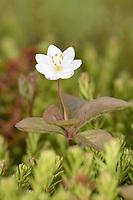 Chickweed Wintergreen - Trientalis europaea