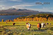 Carl, LANDSCAPES, LANDSCHAFTEN, PAISAJES, photos,++àreskutan Kallsj+Ân  Sweden,++++,SWLA4006,#L# cows,autumn