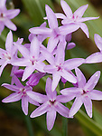 FLOWERS OF SOCIETY GARLIC, TULBAGHIA VIOLACEA