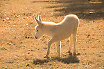 Baby white burro in a field with trees