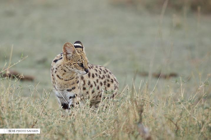 Serval cat hunting, Central Serengeti