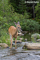 0623-1008  Northern (Woodland) White-tailed Deer, Odocoileus virginianus borealis  © David Kuhn/Dwight Kuhn Photography