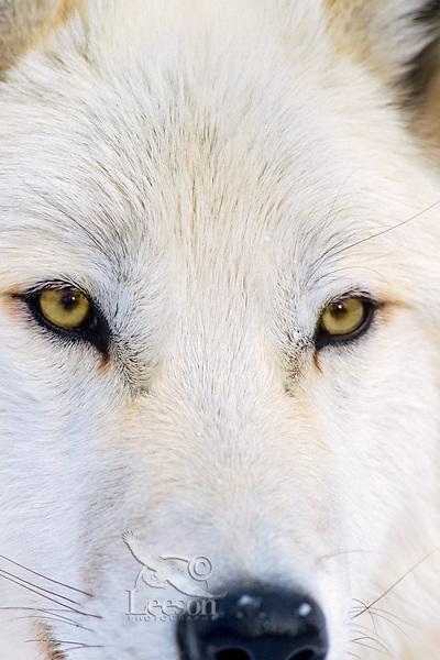 White Arctic Wolf (Canis lupus)