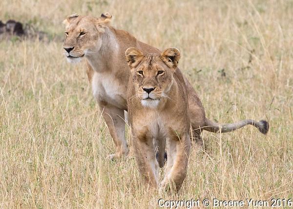 Two Lions Walking2  Kenya 2015