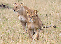 Two Lions Walking2  Kenya 2015