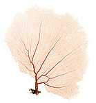 X-ray image of a purple sea fan (orange on white) by Jim Wehtje, specialist in x-ray art and design images.