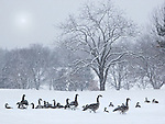 A Flock Of Geese Arrange Themselves In An Open Area During A Winter Snow Storm, Southwestern Ohio, USA : Low Res File - 8X10 To 11X14 Or Smaller, Larger If Viewed From A Distance