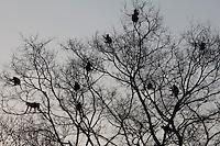 Indian Langur monkeys, Presbytis entellus, safe in tree branches in Ranthambore National Park, Rajasthan, India