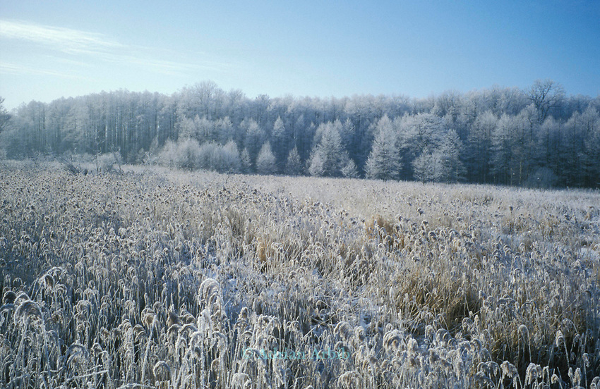 An overnight rain and freeze has produced an ice forest . Bialowieza  national park, Eastern Poland.