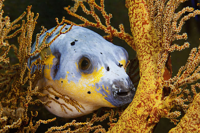Black-spotted Puffer (Arothron nigropunctatus) hiding in a Gorgonian Coral, Philippines.