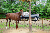 Italy. Tuscany. Polo Club Villa A Sesta is located near the village of Ripaltella and Pietraviva (Arezzo). Riccardo Tattoni drives his vintage Bentley Station Wagon S2 (1961) and passes near a horse used by polo players. Riccardo Tattoni is the owner of Polo Club Villa A Sesta. 18.09.10 © 2010 Didier Ruef