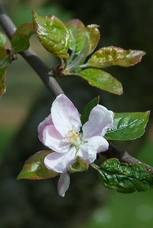 Blossom of Apple 'Eady's Magnum', early May. An English culinary apple raised in about 1908 by Miss D.A. Eady at Wellingborough in Northamptonshire.
