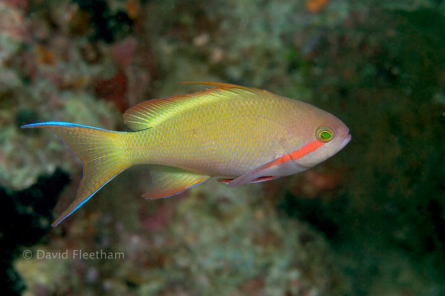 The red-cheeked anthias, Pseudanthias huchtii, is one of the most abundant of this family on the inshore reefs of the Phiilippines and Indonesia.  The red band on the head is not present in the female.  Malaysia.