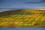 Moonrise in spring over mustard and vineyard in the lower Carneros Region, Sonoma County, California