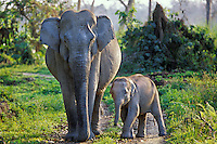 Wild Indian or Asian Elephant (Elephas maximus) cow with young calf, India, March.
