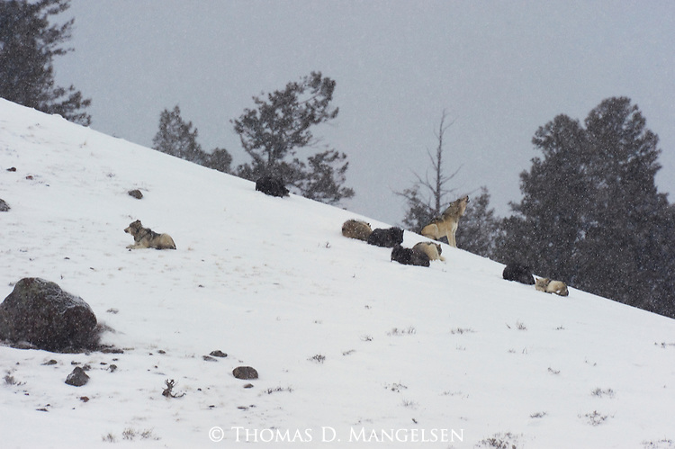 A wolf from the Druid pack howls from a hillside while its companions rest. Yellowstone National Park, Wyoming.