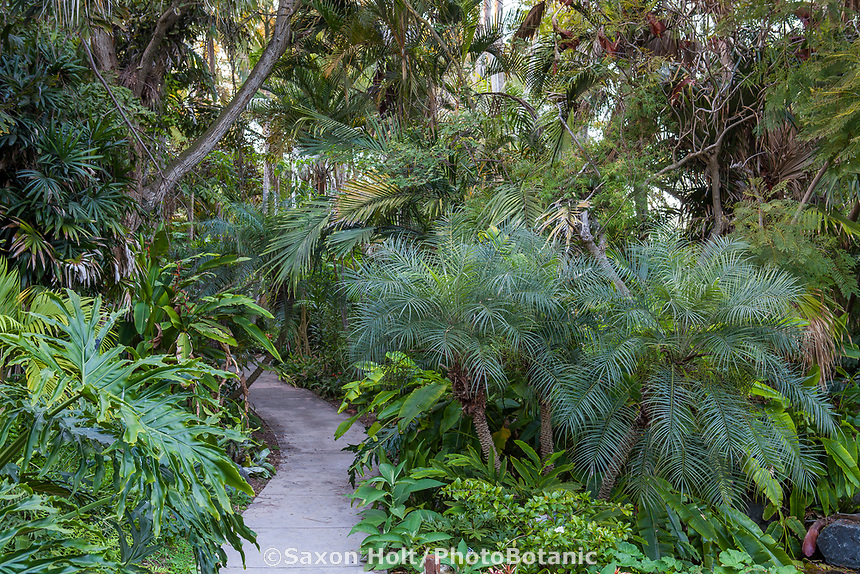 Pathway borderd by palms with Phoenix roebelenii var. reasoneri (Reasoneri Palm) on right at San Diego Botanic Garden