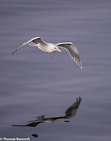 An adult glaucous-winged gull that has swallowed a fishing hook and has the fishing line hanging from its mouth.