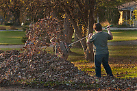 The youngsters in a family rake their yard full of leaves to the curb for the city's leaf collection truck to carry away to a mulching recycler.