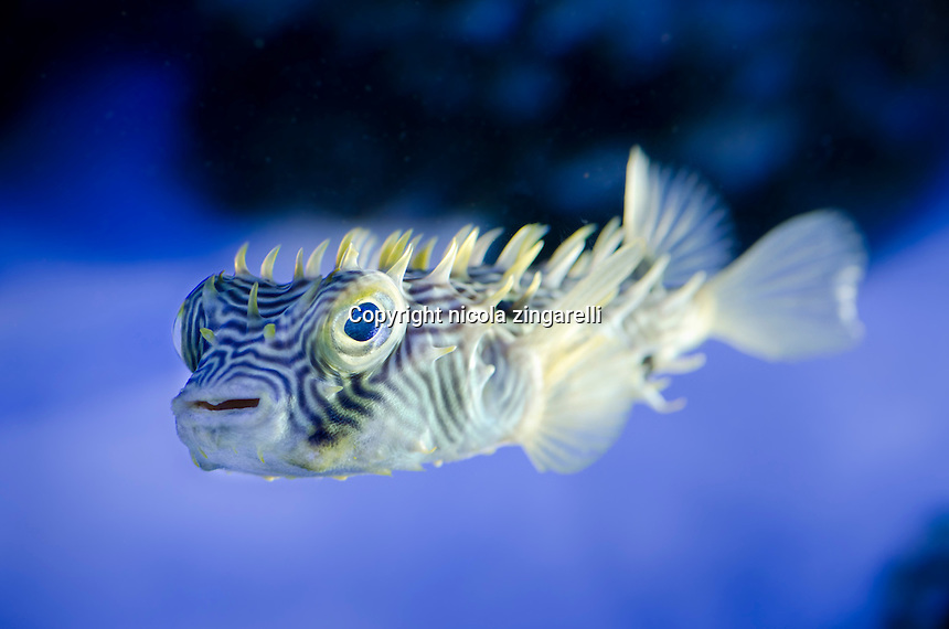 The burrfish or spiny Boxfish (Chilomycterus schoepfi) is a member of the porcupinefish family Diodontidae. Is a great species for large fish tank or an aquarium
