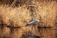 Great Blue Heron (Ardea herodias) Great Blue Heron (Ardea herodias) taking flight
