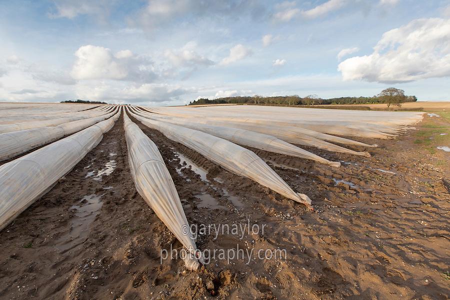 Asparagus under cloches - Norfolk, March
