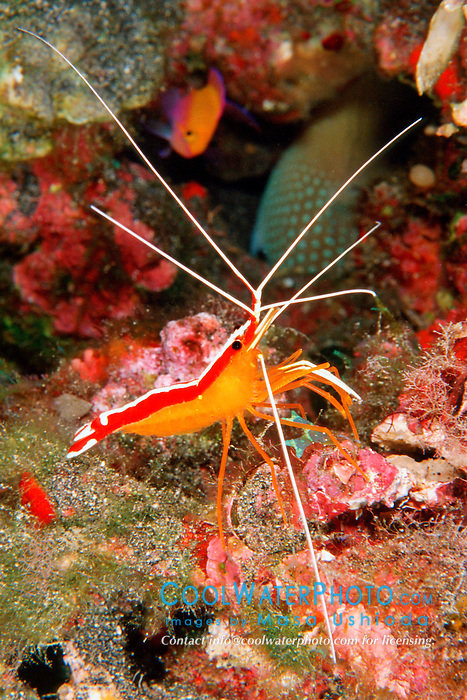 scarlet cleaner shrimp, .Lysmata amboinensis, .Kona, Big Island, Hawaii (Pacific)