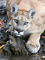 Utah Mountain Lion 2008