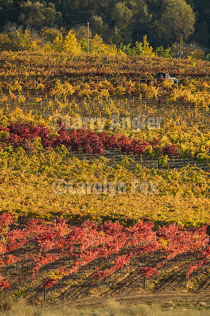 A wine grape leaf turns golden during autumn, Shenandoah Valley, Amador Co., Calif...Zanini Vineyards, alicani bouschet and zinfandel wine grape vines, autumn.