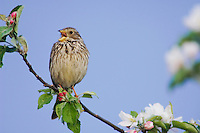 Corn Bunting, Miliaria calandra, adult singing on apple tree, National Park Lake Neusiedl, Burgenland, Austria, April 2007