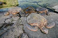 Green Sea turtle, Hawaii, Chelonia mydas, (Honu) on rocks, Kona, Hawaii