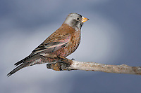 Gray-crowned Rosy-Finch (Hepburn's race) - Leucosticte tephrocotis littoralis - male