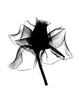 Xray Rose blossom#3