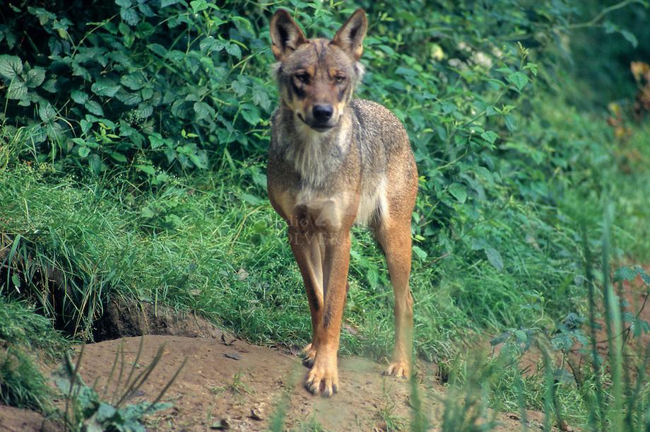 Wolf (Canis lupus) bij hol.