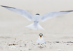 Least Terns (Sternula antillarum) one flying in to land (rear view), the other incubating on nest, Massachusetts, USA