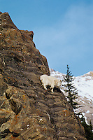 Mountain Goat walks across steep cliff face.  Northern Rockies.