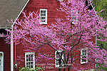 Red Barn and Redbud, Shawnee, Pennsylvania
