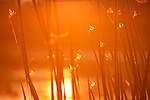 Columbia Ranch, Brazoria County, Damon, Texas; dozens of dragon flys sitting on cat tail reeds backlit by an orange sunrise