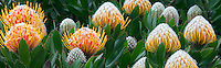 Apple blossoms and Protea flowers. Big Sur coast. California