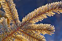 Frost on evergreen tree, Homer, Alaska