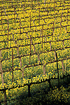 Mustard flowers bloom in spring in a vineyard, Silverado Trail, Napa Valley Wine Country, California