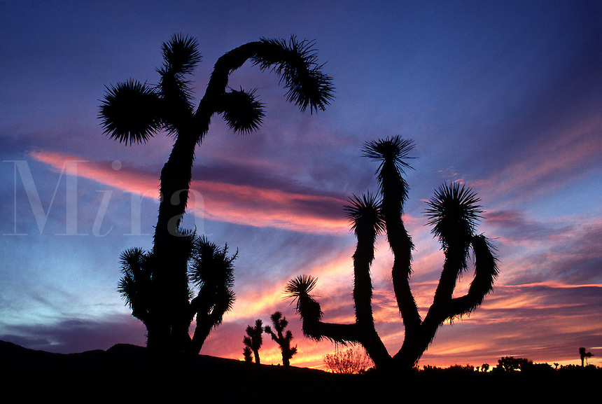 JOSHUA TREES are silhouetted by a magnificent sunset - JOSHUA TREE NATIONAL MONUMENT, CALIFORNIA